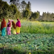 Growing leafy greens in India