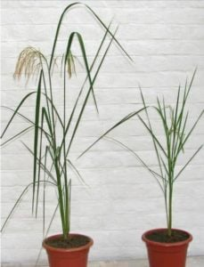 Parent (left) Golden Rice (right)