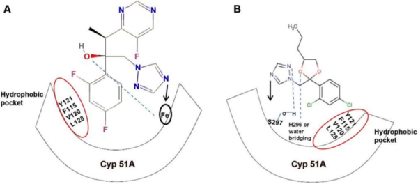 Diagram showing similar mode of action in triazoles between medical (A) and agricultural (B) applications. From Chowdhary et al. (2013).